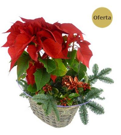 Comprar flor de Pascua online, tradición y belleza a grandes precios