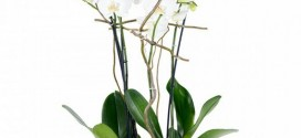 Regalar orquídeas online, baratas y con entrega a domicilio